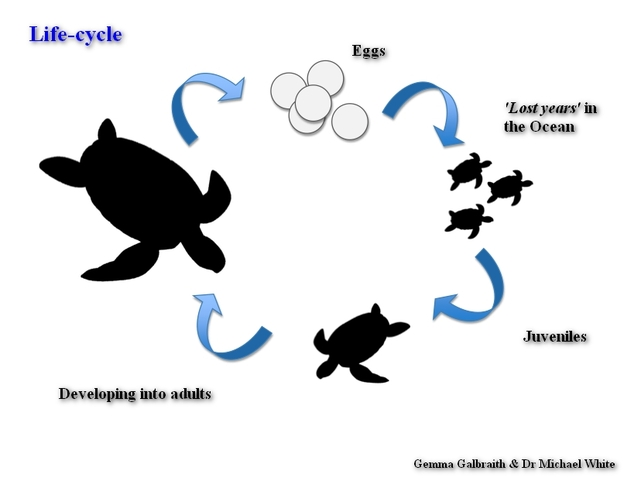 Life Cycle - BOG TURTLE